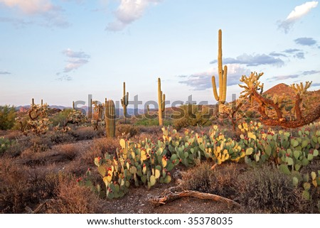Sunsetlit Saguaros in Sonoran Desert. - stock photo