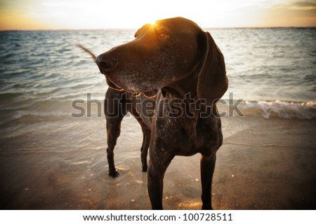Sunsetting behind the dog in the ocean. - stock photo