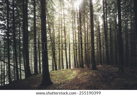 sunshine in green pine tree forest - stock photo