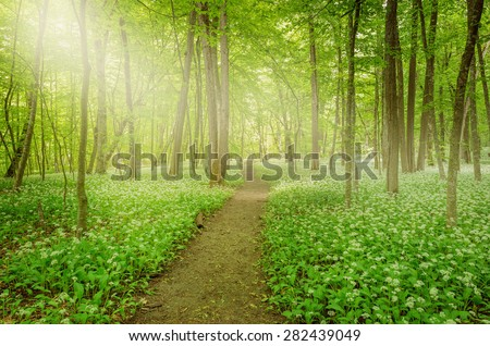 Sunshine in the forest with path and white flowers of the ramsons or wild garlic. - stock photo
