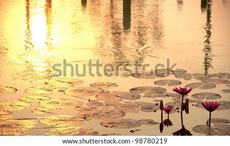 Sunshine rising lotus flower - stock photo