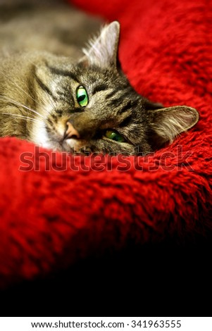 Super comfortable cat on soft red blanket - stock photo