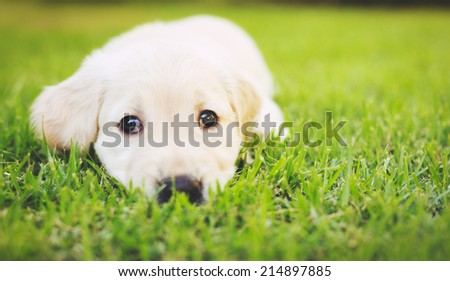 Super Cute Adorable Golden Retriever Puppy in the Yard - stock photo