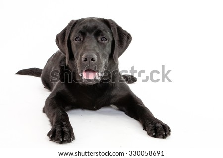Super cute black lab puppy laying down while isolated on white