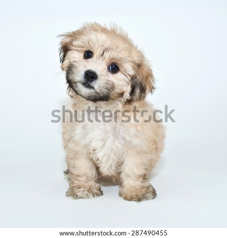 super cute puppy tilting her head looking very curious about something - stock photo