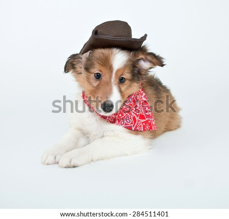 Super cute Sheltie puppy wearing a cowboy hat and hanky, on a white background.