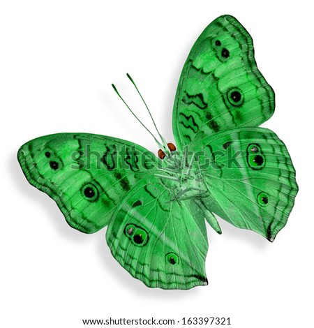 Super Green Butterfly isolated on white background (Peacock Pansy in fancy color)
