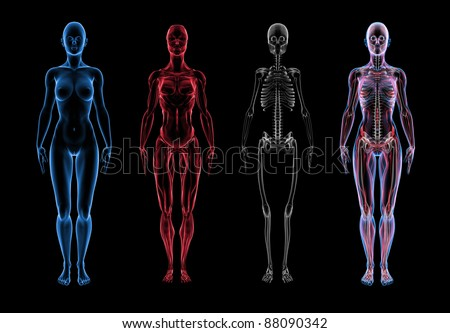 Super high resolution 3D render of female anatomy. Three part break away views. First section is the skin, second is muscle, third section is skeleton. Forth is a composite of all three layers. - stock photo