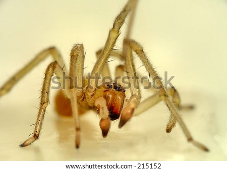 Super Macro of a tiny (1/4 inch) household spider - stock photo