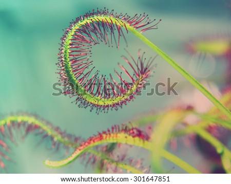 super macro of beautiful sundew ( drosera ) vintage style  Floristic abstract background - stock photo
