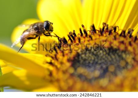 super macro shot of bee eating honey in sweet daisy flower - stock photo