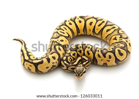 Super pastel ghost ball python (Python regius) isolated on white background. - stock photo