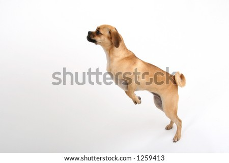 super puggle puppy - stock photo
