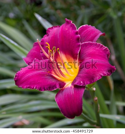 Super purple Day lily flower
