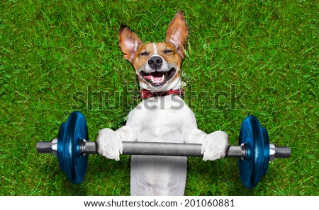 super strong dog lifting  big blue dumbbell bar - stock photo