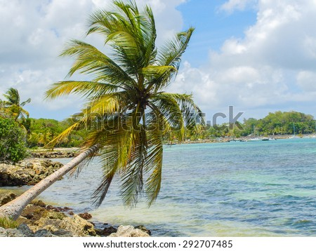 Superb coconut palm on the beach of the Caribbean Sea in Guadeloupe, Antilles. - stock photo