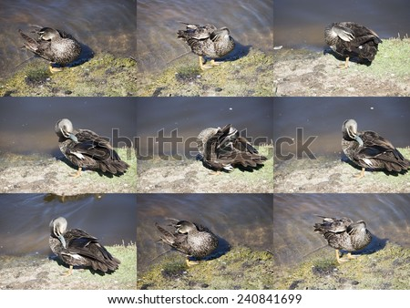 Superb  collage of Australian Pacific black ducks preening  their feathers  after a swim in  a nearby lake at Bunbury 's Big Swamp wetlands, west Australia in spring. - stock photo
