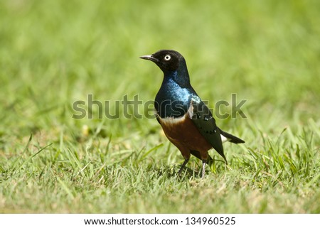 Superb starling in Amboseli National Park of Kenya - stock photo