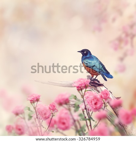Superb Starling Perches in the Rose Garden - stock photo