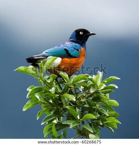 SUPERB STARLING.The orange-blue bird sits on a green branch on brightly dark blue background. - stock photo