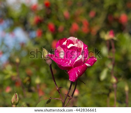 Superbly romantic beautiful large, dusty pink striped Candy Stripe  rose blooming in early winter  after rain adds fragrant charm to the garden attracting bees and butterflies to the sweet pollen. - stock photo