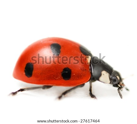 Supermacro of Ladybug.Studio isolated - stock photo