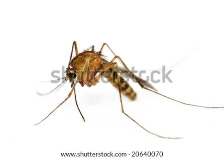 Supermacro of Mosquito isolated on white. - stock photo