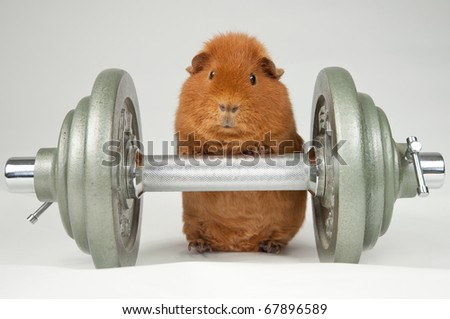 superpig workout - stock photo