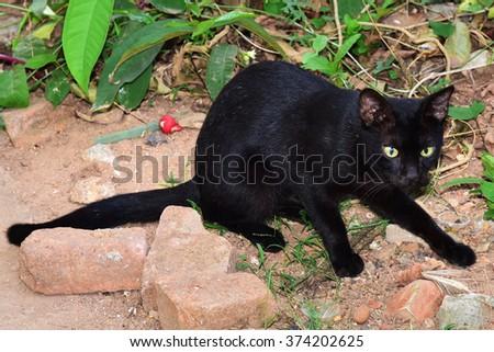 Superstition. Black domestic cat (Felis catus) crawling.  - stock photo