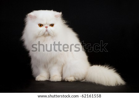 Supreme show champion white Persian on black background - stock photo
