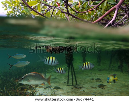 Surface and underwater view in the mangrove with tropical fish, Caribbean sea - stock photo