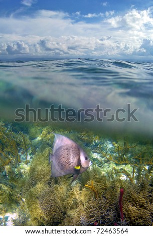 Surface and underwater view with an Angel fish in a coral reef, Caribbean sea, Bocas del Toro, Panama - stock photo