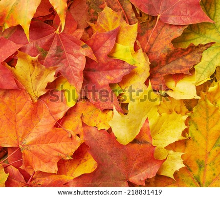 Surface covered with colorful maple leaves as an autumn background composition - stock photo