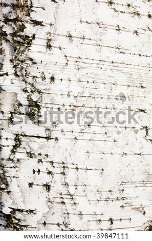 Surface of a white bark of a birch