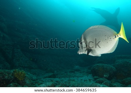 Surgeon fish and sea lion underwater - stock photo