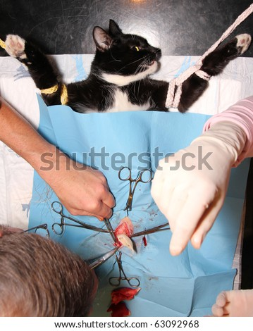 surgical castration of cat - stock photo