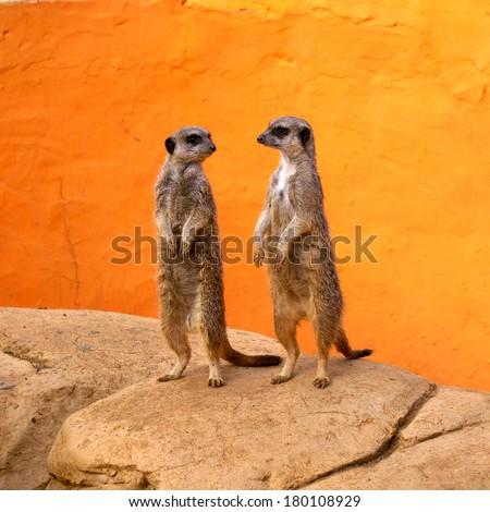 suricata background. two suricates standing. zoo background. meerkat background. - stock photo