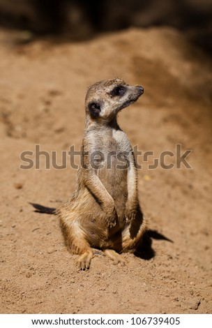 suricata in zoo