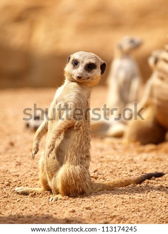Suricata - Meerkat - stock photo