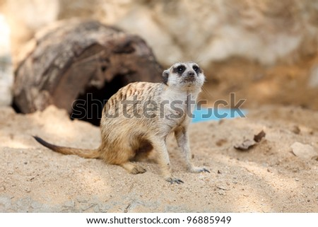 Suricate or Meerkat sitting on the sand.