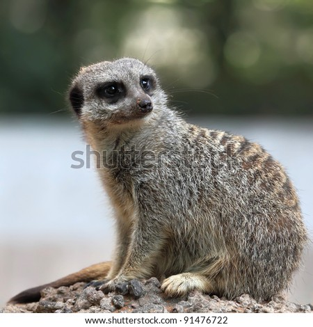 Suricate or Meerkat sitting on the stone