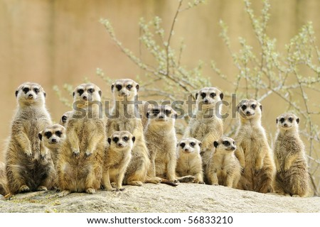 Suricate or meerkat (Suricata suricatta) family Earth males looking for enemies  - stock photo