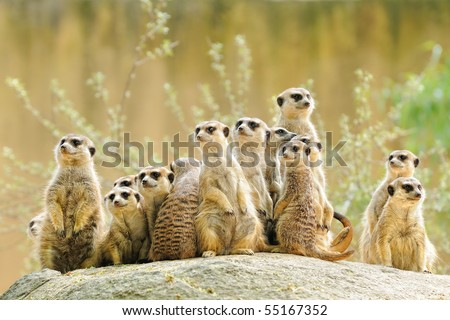 Suricate or meerkat (Suricata suricatta) family Earth males looking for enemies look in all directions Erdmännchen - stock photo