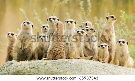 Suricate or meerkat (Suricata suricatta) family Earth males looking for enemies look in all directions Erdmännchen - stock photo