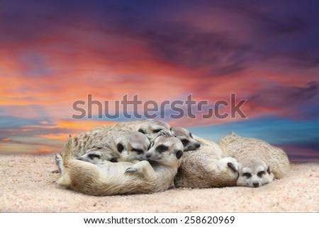 Suricate or meerkat (Suricata suricatta) family sleep with beautiful sky at twilight time - stock photo