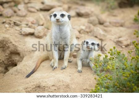 Suricate or meerkat (Suricata suricatta) found in Zoo, Czech republic - stock photo