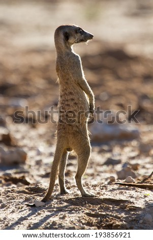 Suricate sentry standing in the early morning sun back lit looking for possible danger - stock photo
