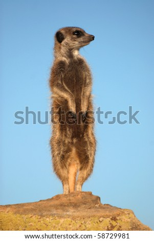 Suricate, Suricata suricatta standing as a lookout on an anthill