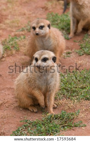 Suritcates, or Meerkats (Suricata suricata) - stock photo