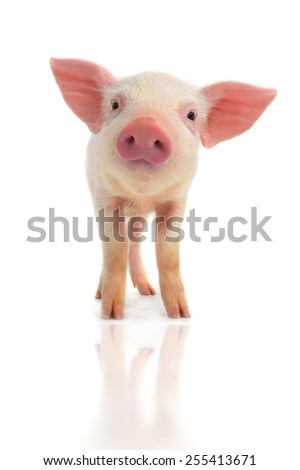 surprised a pig on a white background - stock photo
